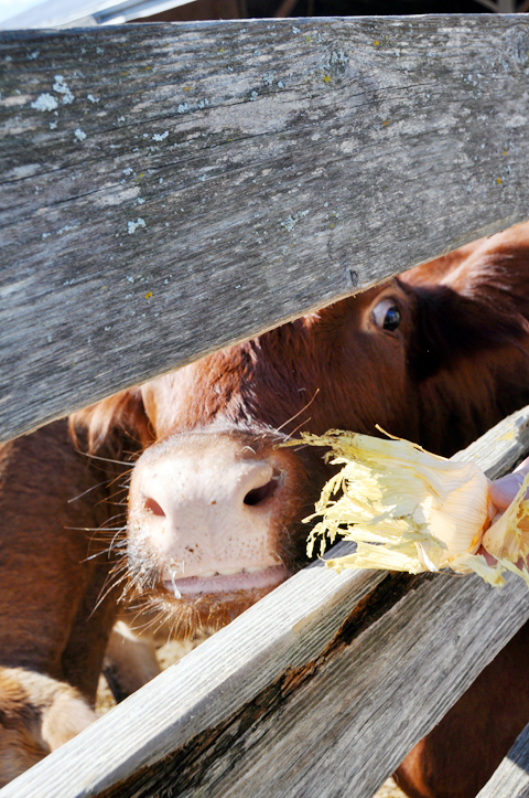 hungry-cow