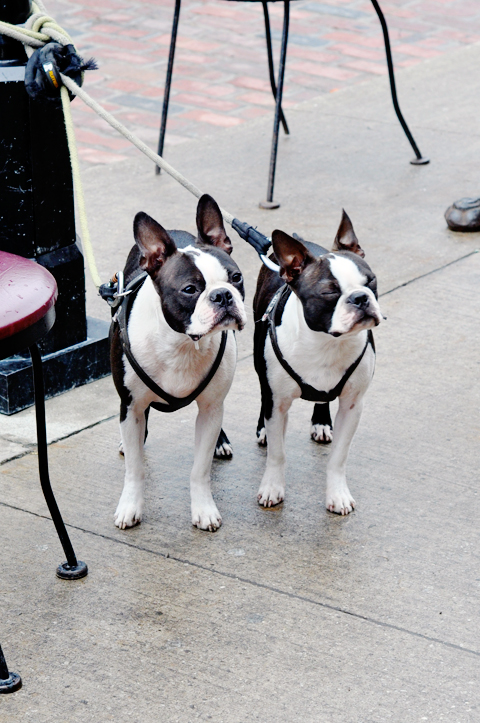 cute-boston-terriors