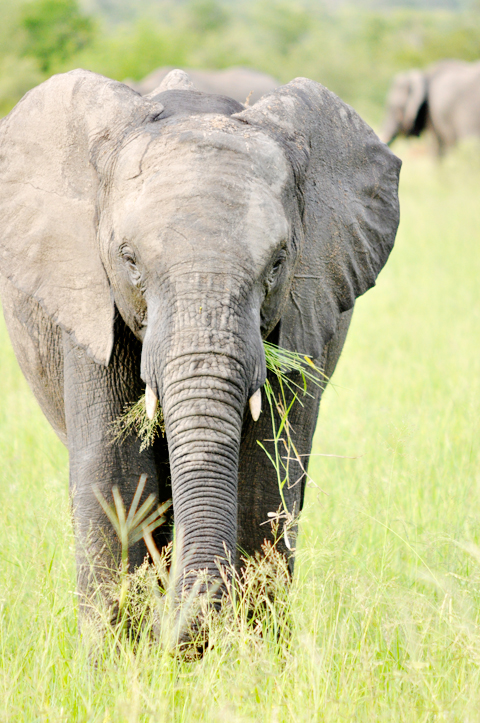 south-african-elephant