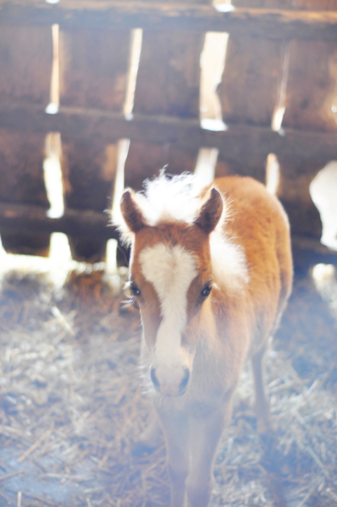 baby-miniature-pony
